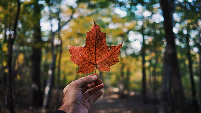 Hand holding maple leaf